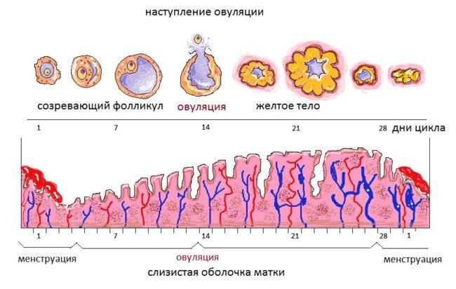 Схема наступления овуляции с подробным описанием