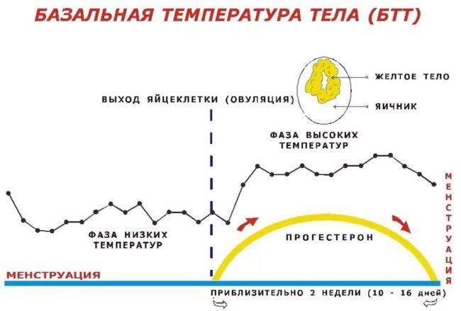 Схематически изображенный график базальной температуры тела