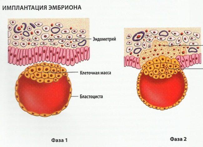 Имплантация эмбриона на третей недели беременности изображенная на рисунке