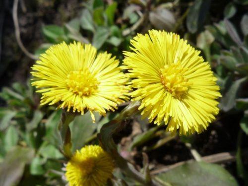 Мать-и-мачеха желтого цвета