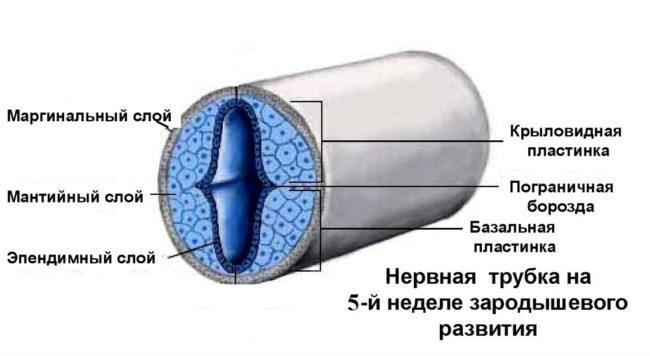 Нервная трубка плода изображенная схематически