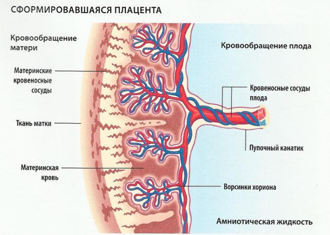 Формирование плаценты на рисунке