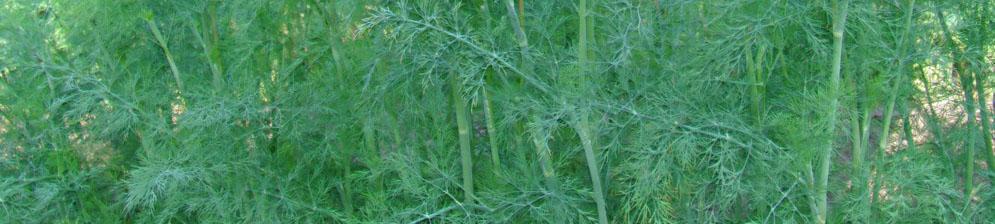 Растение укропа на поляне