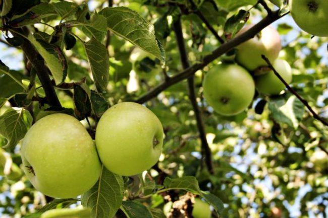 Зелёные яблоки на дереве
