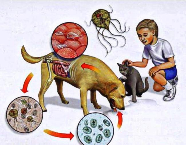Схема заражения ребёнка лямблиями через домашних животных и сырую воду
